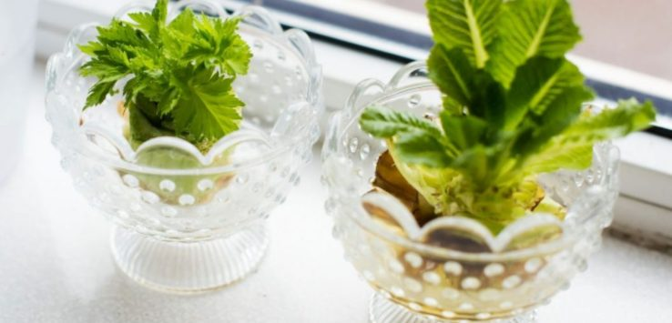 Two jars of lettuces on a windowsill