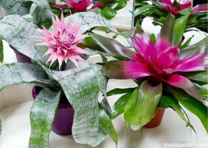Aechmea Bromeliad Indoor Plant