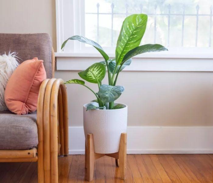Dumb Cane Indoor Plant