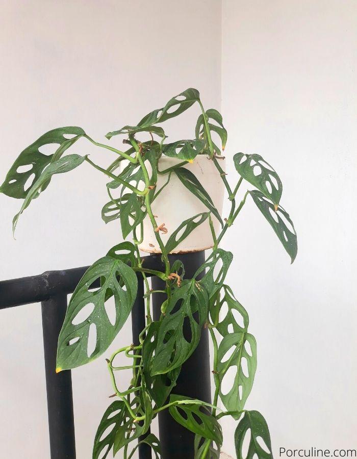 Monstera Adansonii Plant