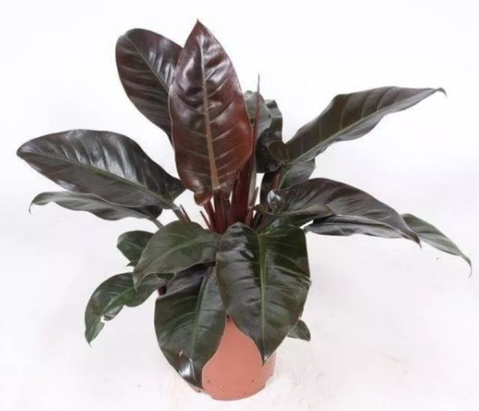 Philodendron Imperial Red Indoor Plant