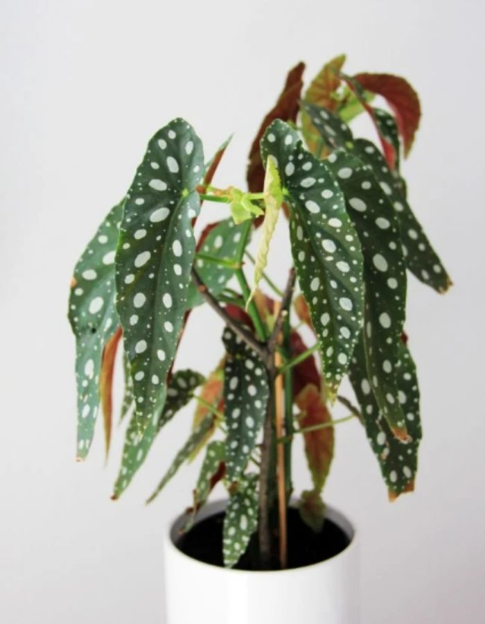Polka Dot Begonia Plant
