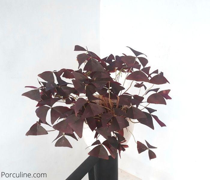 Purple Shamrock Indoor Plant