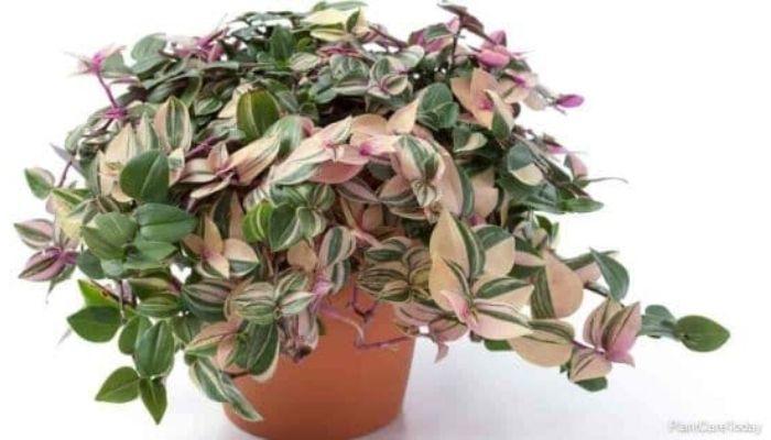 Tradescantia Fluminensis Tricolor Plant