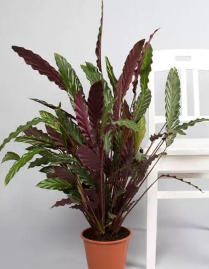 Velvet Calathea Indoor Plant