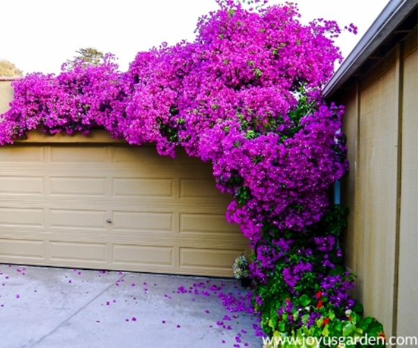 Purple Queen Bougainvillea