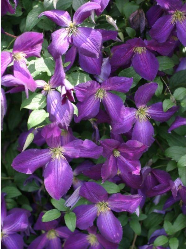 Purple Bush Clematis