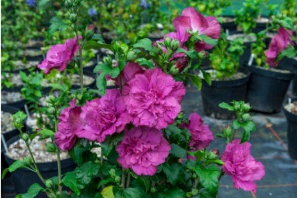 Purple Rose of Sharon
